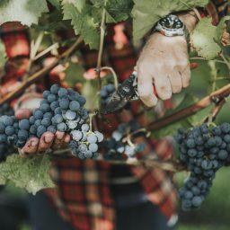 wine-harvest-bas-huisman-reestlandhoeve